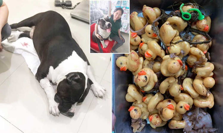خارج کردن اسباب بازی های پلاستیکی از شکم سگ تایلندی