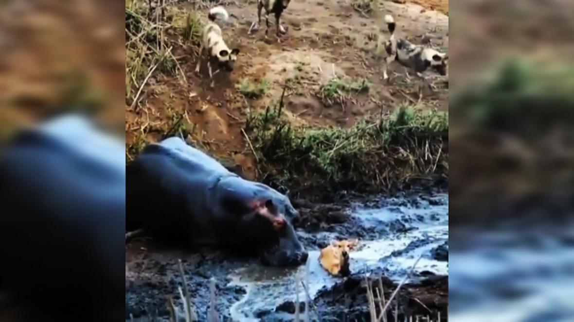 کشتن آهو توسط اسب آبی بی اعصاب