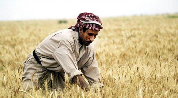 عراق در تولید گندم خودکفا می شود